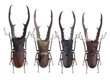 Lucanidae, Stag Beetle, Cyclommatus Mniszechi (Thomson, 1856)