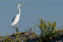 Great White Egret Sitting, Danube Delta, Romania