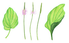 Set Of Plantain Flower Ear And Green Leaves Isolated On White Background. Watercolor Hand Drawing Illustration. Perfect For Medical Or Herbal Card, Garden Design.