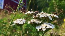 Slow Motion: A Longhorn Beetle And A Syrphid Fly Sit On A White Yarrow Flower.