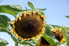 Sunflower With Large Ripe Flowers