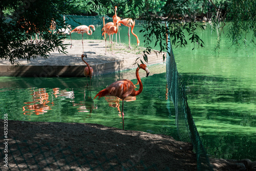 Pink flamingos walking in the water with reflections -Phoenicopterus roseus-