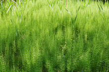 Background Of Horsetail Thicket Growing On The Swamp