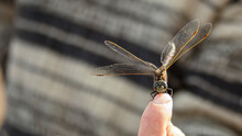 A Large Dragonfly Sits On A Human Finger, Macro Photography