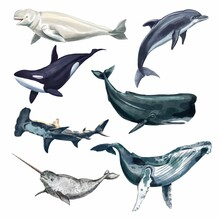 Watercolor Whale Illustration Isolated On White Background. Hand-painted Realistic Underwater Animal Art. Killer, Hammerhead Shark, Beluga, Sperm Whale, Narwhal, Dolphins, Orcas, Cachalot Whales For