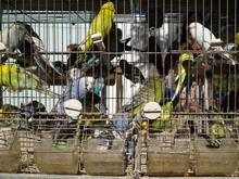 Caged Birds For Sale In Rural Market