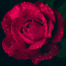 Beautiful Large Red Purple Rose With Dew Drops Close Up
