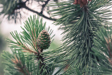 Close-up Of A Green Pinecone Among Pine Branches.