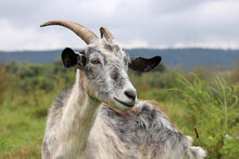 Grey Goat Portrait On Nature Background. Horned Goat Grazing On A Green Meadow, Rural Scene