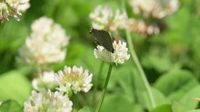 Gray Hairstreak Butterfly Getting Nectar From A White Clover Flower