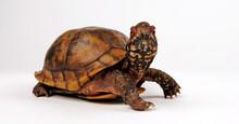 Three-toed Box Turtle, Common Box Turtle // Dreizehen-Dosenschildkröte, Carolina-Dosenschildkröte (Terrapene Carolina Triunguis)