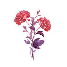 Physocarpus Opulifolius_ Twigs And Seedpods Inflorescence II