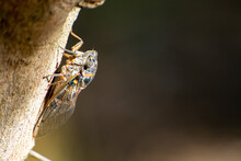 Symbol Of Provence, Cicada Orni Insect Sits On Tree Close-up