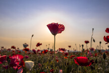 Closeup Shot Of A Landscape With Flowers With The Sun Hidden Behind A Blossomed Red Poppy