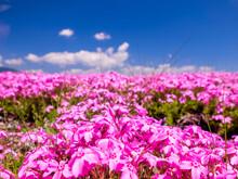 滋賀県 大津市 琵琶湖畔の芝桜