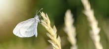 Close Up Of Butterfly Background - Beautiful Cabbage White Butterfly ( Pieris Brassicae ) On Wheat Ear