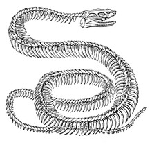 An Engraved Animal Image Of A Python Snake Skeleton From A Vintage Victorian Book Dated 1886 That Is No Longer In Copyright, Stock Photo Image