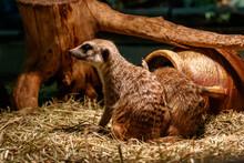 Beautiful Meerkats Are Played