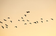 Silhouetted Flying Herd Of Seabirds With Aeroplane In Background.