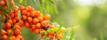 Ripe Sea Buckthorn Berries In A Garden
