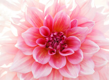 Close Up Of Pink Dahlia Flower As Background