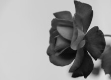 Rosa Bianco E Nero