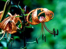 Bright Orange Tiger Lily In The Garden