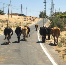 Cows Walking On The Highway. Mardin Province, Turkey.