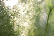 Eupatorium Capillifolium Asparagus Racemosus Willd Leaves With Bokeh