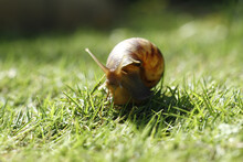 Shell A Small Brown Snail On The Grass With The Blurred Background