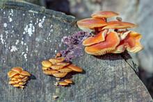 Velvet Shank Fungi (Flammulina Velutipes) Growing On An Old Tree Stump