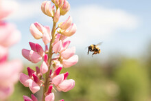 Lupine Flower In The Garden And A Bee