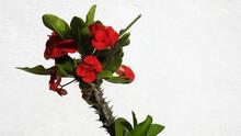 Corona De Cristo - Euphorbia Milii