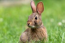 Young Eastern Cottontail Rabbit (Sylvilagus Floridanus) Closeup In Grass Soft Light