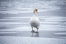 Swan On Ice Clods. Seddinseel In Winter Time, Close To Berlin With Snow And Ice