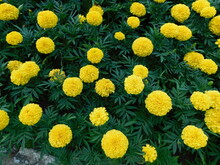 Closeup Of Marigold Flowers Among Gray And Green Leaves In A Summer Sunny Day.