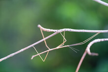 Walking Stick Insect Or Phasmids (Phasmatodea Or Phasmatoptera) Also Known As Stick Insects, Stick-bugs, Walking Sticks, Bug Sticks Or Ghost Insect. Selective Focus, Blurred Background With Copy Space