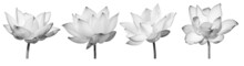 Lotus Flower Black And White Collections Isolated On White Background With Clipping Path.