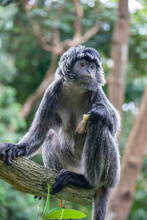 The Javan Lutung (Trachypithecus Auratus) Is Eating Food,  Also Known As The Ebony Lutung And Javan Langur, Is An Old World Monkey From The Colobinae Subfamily