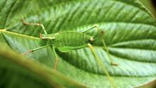 Macro Cricket Katydid Green Garden