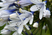 Sydney Australia, Close-up Of Individual Flowers In Ball Of A  Agapanthus Or Lily Of The Nile