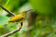 Streaked Spiderhunter Perching On A Perch