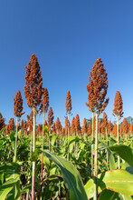 Sorghum Also Called Great Millet, Indian Millet Are Cereal Grain Plant Of The Grass Family