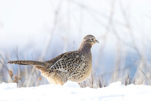 Female Pheasant Phasianus Colchicus Scavenging In A Forest Perched In Snow During Winter Season