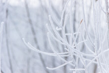Frozen Branches In Frost In Winter