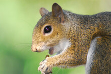 Florida- Extreme Close Up Of A Wild Eastern Gray Squirrel Munching On A Pine Cone