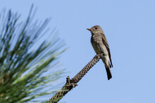 Small Wood Pewee Perched On A Branch.