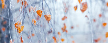 Frost-covered Birch Branch With Dry Leaves In The Fog On A Blurred Background, Panorama