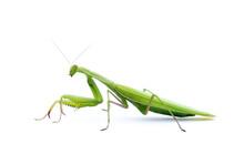 Praying Mantis Beetle Isolated On White Background