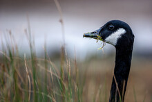 Black-headed Goose Eating Grass On A Blurred Background
